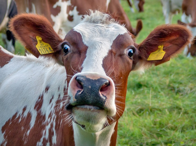 Scared Cow